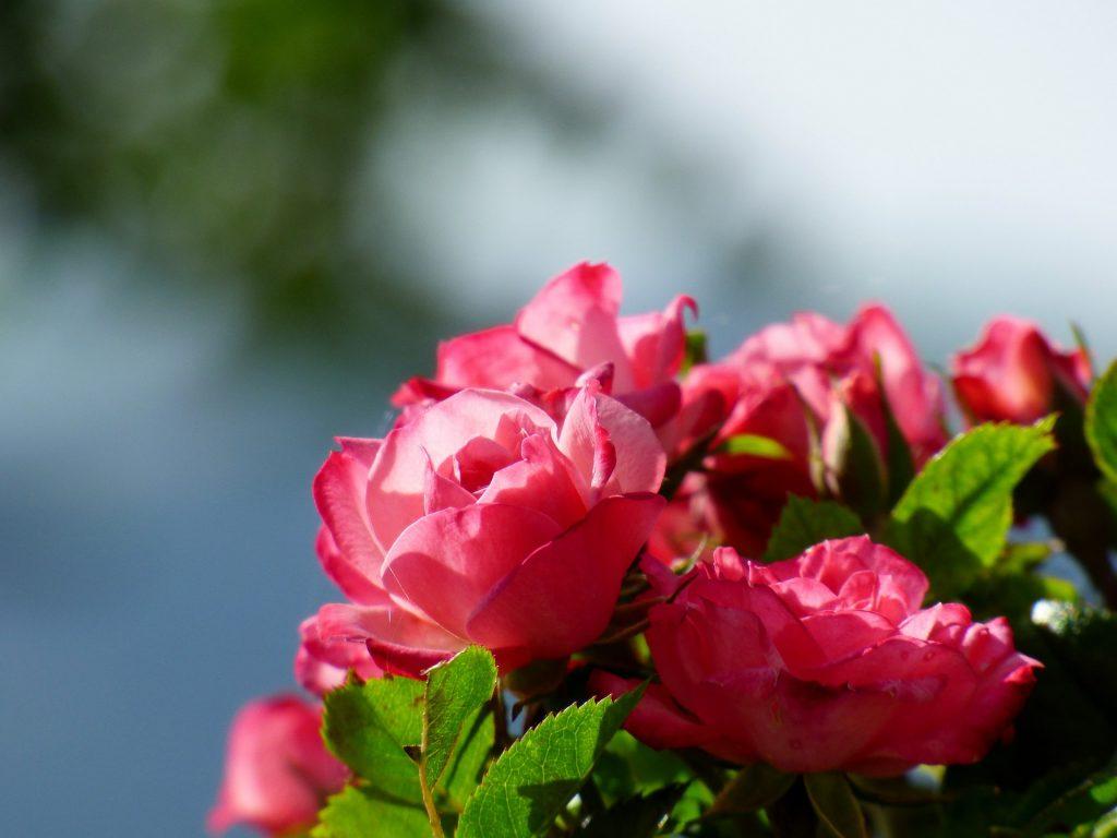 葵(あおい)の花