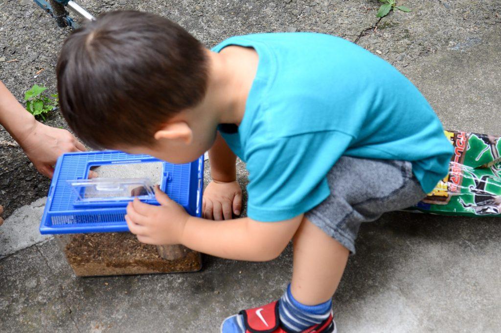 3歳、初めてのカブトムシの飼育(成虫編) 虫かごをじっと眺める息子