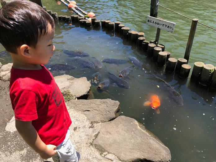 洗足池の鯉