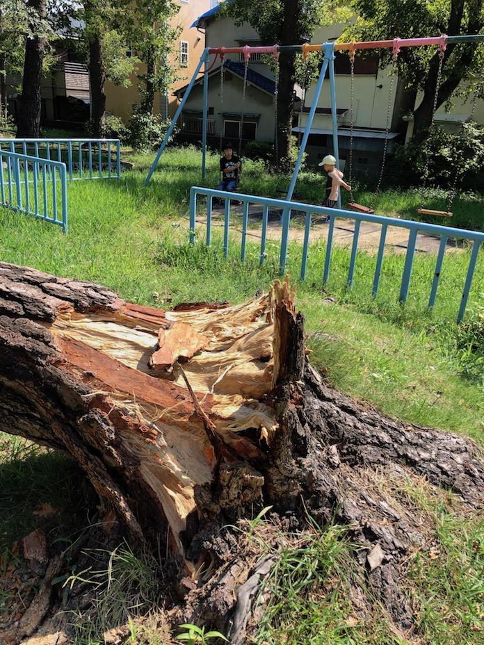 八幡公園 根元から倒れた木