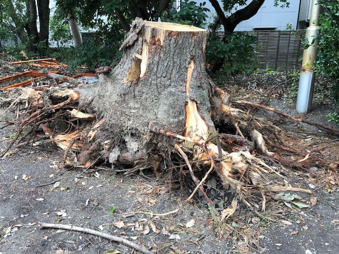 弥栄神社(岸和田市)台風で倒れた木の根