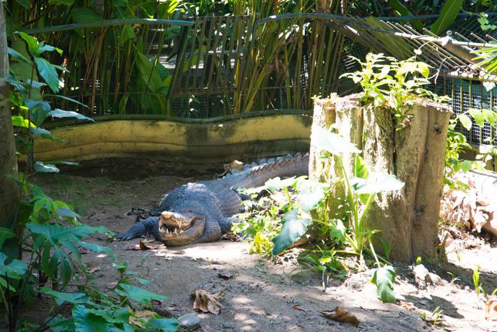 Bali Zoo(バリ動物園)寝ているワニ