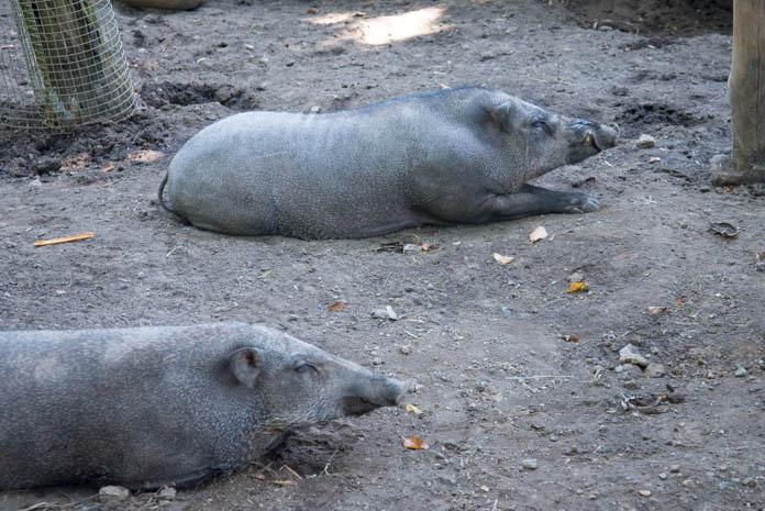 Bali Zoo(バリ動物園)寝ている豚