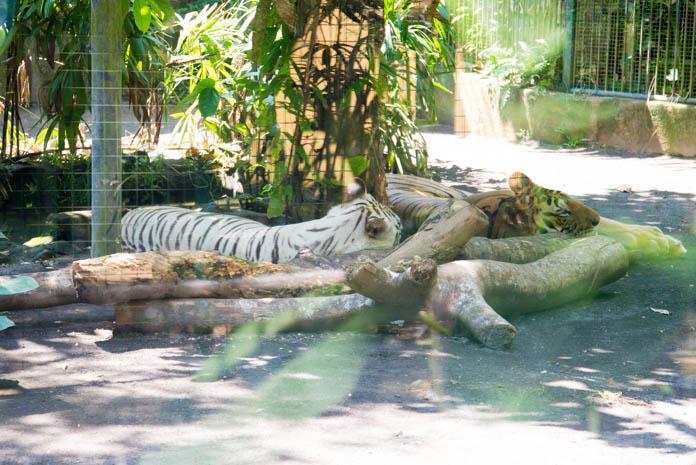 Bali Zoo(バリ動物園)寝ているホワイトタイガー