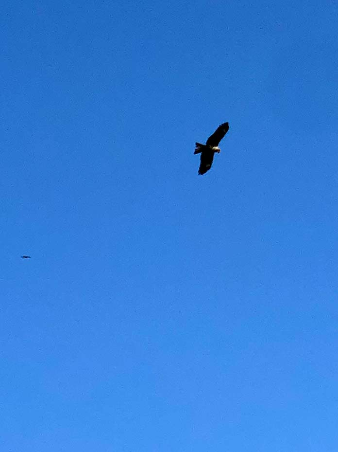 空に飛んでいるトンビ