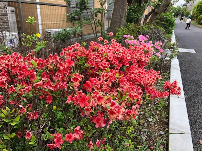 緑道に咲く赤い花