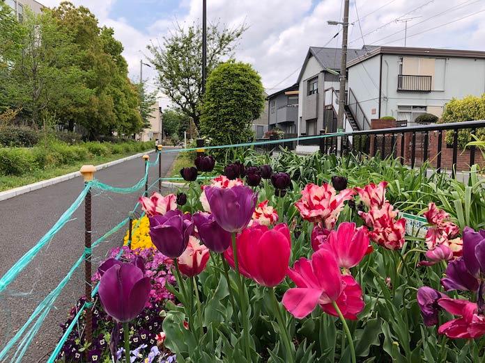緑道に咲くチューリップ